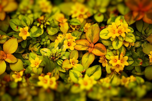 a beautiful patch of lysimachia congestiflora, also known as outback sunset, photographed by Jacob Rosenfeld